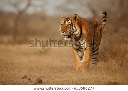 Shutterstock Tiger in the nature habitat. Tiger male walking head on composition. Wildlife scene with danger animal. Hot summer in Rajasthan, India. Dry trees with beautiful indian tiger, Panthera tigris