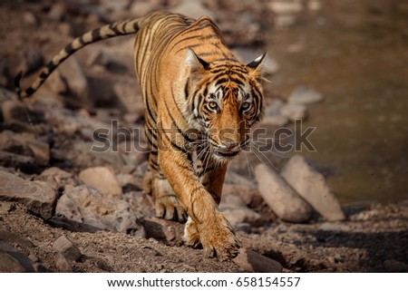 Shutterstock Tiger in the nature habitat. Tiger young male walking around the waterhole. Wildlife scene with danger animal. Hot summer in Rajasthan, India. Dry trees with beautiful indian tiger, Panthera tigris