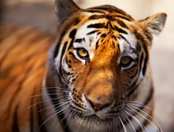 Tiger in the Novosibirsk zoo