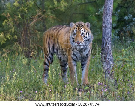 Tiger in the Woods - stock photo