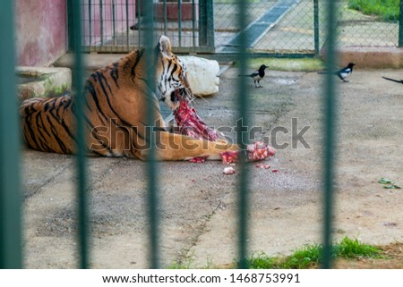 Tiger in the zoo eating fresh meat  #1468753991