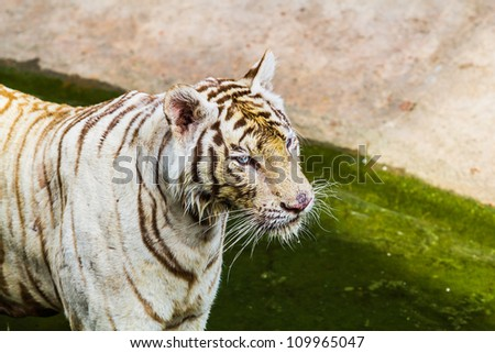 tiger in zoo at samutprakan,thailand - stock photo