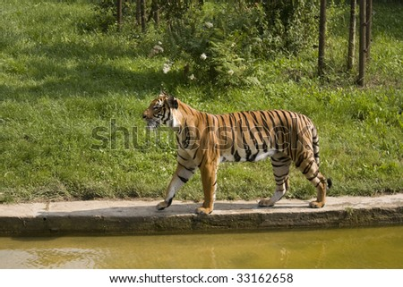 Tiger in zoo - walking by water