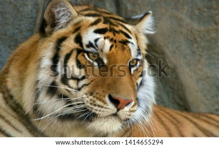 Tiger is a species of predatory mammals of the cat family #1414655294