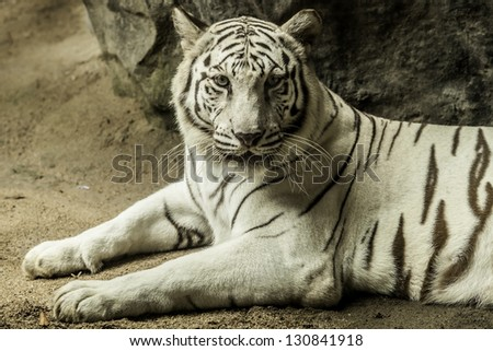 Tiger is a white to brown to black. #130841918
