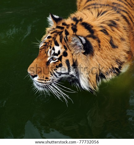 Tiger is in water