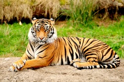 Tiger is one of the most beautiful animals in the world