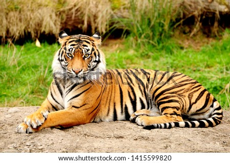 Tiger is one of the most beautiful animals in the world #1415599820
