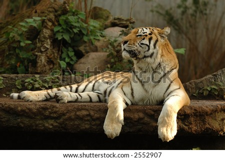 Tiger is resting in the shade