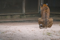 tiger is sitting with his back to the viewer in zoo