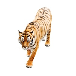 tiger isolated on white background