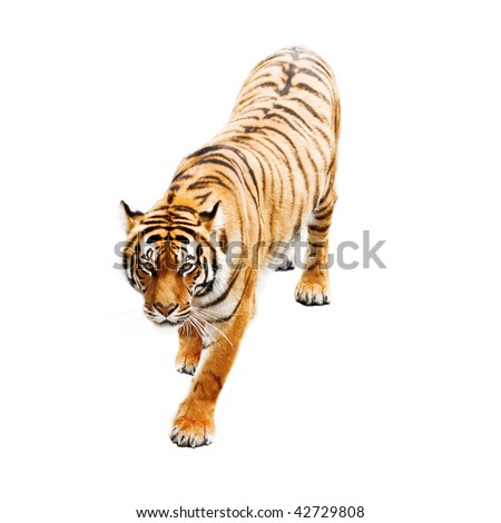 tiger isolated on white background #42729808