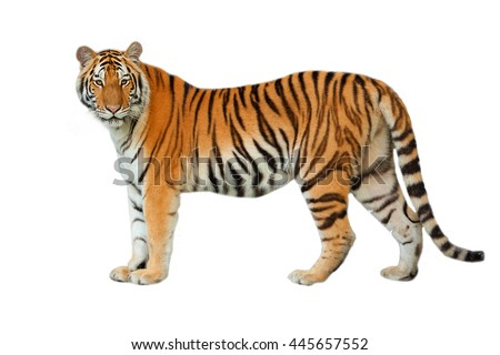 Tiger isolated on white background. #445657552