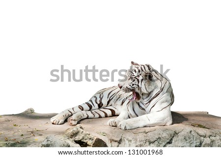 Tiger Isolated on white with clipping path