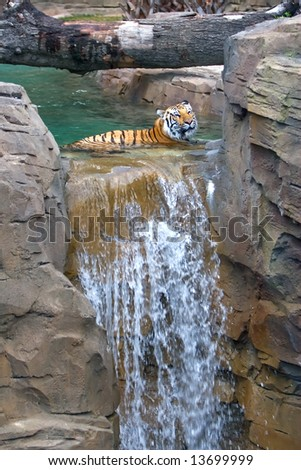 Tiger laying in water