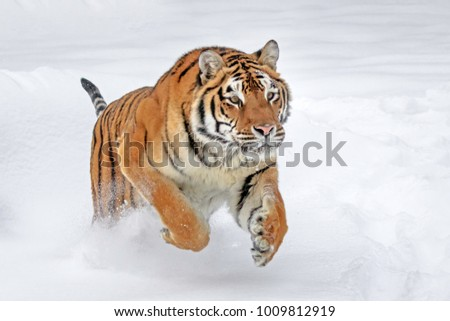 Tiger Leaping in the Snow #1009812919
