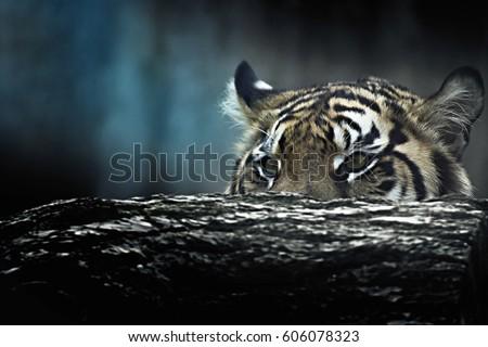 Tiger lie in wait. Feline predator before atack. Sweet wild cat. - Shutterstock ID 606078323