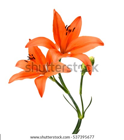 tiger lily flower isolated