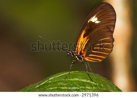 Tiger Longwing Butterfly - stock photo