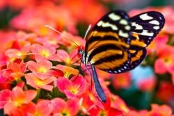 Tiger Longwing (Heliconius ismenius)