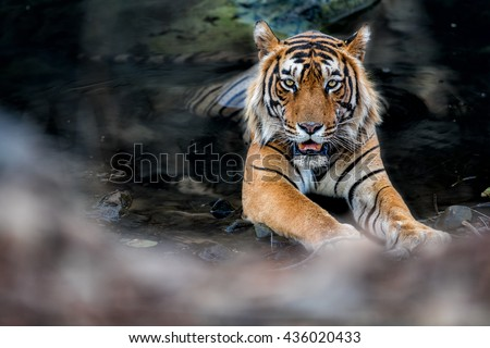 stock photo tiger male in the watter wild animal in the nature habitat india big cats endangered animals 436020433 - Каталог — Фотообои «Животные»