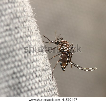 Tiger mosquito, Aedes albopictus, with blood inside the abdomen.