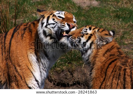 Tiger mother together with one of her cubs showing her teeth - stock photo