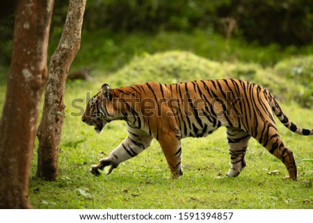 Tiger  moving in lush green forest of Kabini Tiger Reserve, India Zdjęcia stock ©