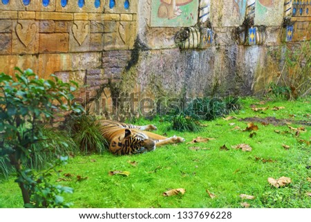 Tiger napping at the zoo on green grass in an asian looking setting.