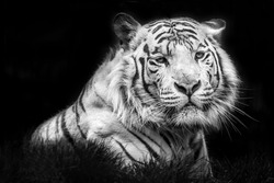 tiger nature angry portrait animal mammal