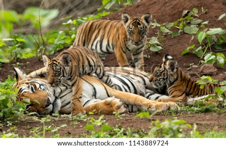 Tiger of Kabini #1143889724
