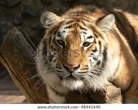 tiger on a branch close-up