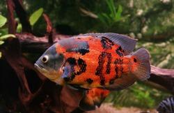 Tiger Oscar Fish, astronotus ocellatus, Adult