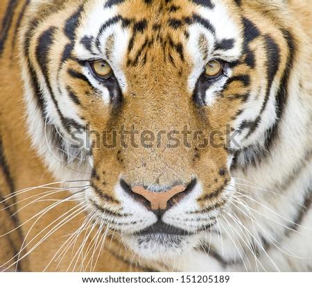 Tiger, Panthera tigris.