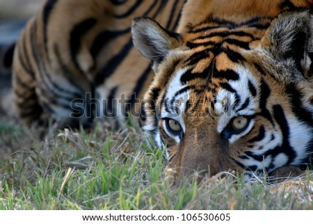 Tiger (Panthera tigris) at a Lion Park South Africa
