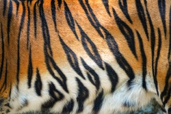 Tiger pattern / Beautiful real bengal tiger texture skin black orange stripe pattern for background