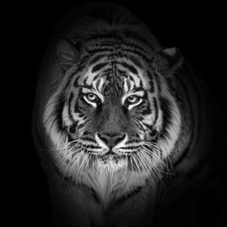Tiger portrait close-up in black and white colors, World wildlife day concept, spectacular majestic proud animal walking forward, low key toned background with panthera tigris