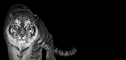 Tiger portrait in black and white colors, World wildlife day concept, spectacular majestic proud animal walking forward, wide low key toned banner background with panthera tigris and empty copy space