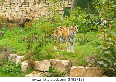 Tiger portrait in green nature