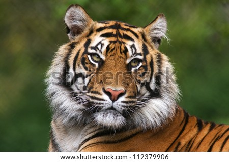 Shutterstock Tiger, portrait of a bengal tiger.
