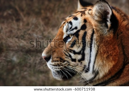 Tiger, portrait of a tiger #600711938