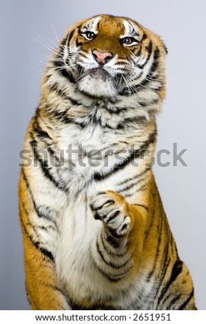 Tiger posing. All my pictures are taken in a photo studio