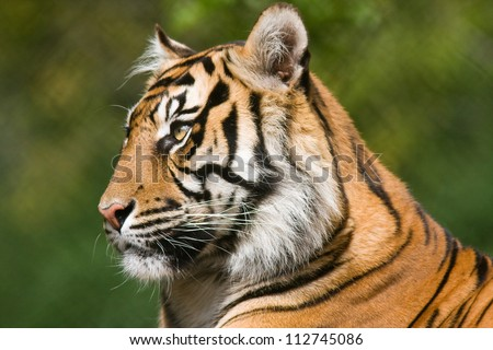 Tiger profile.  Side view portrait of a Bengal tiger. #112745086