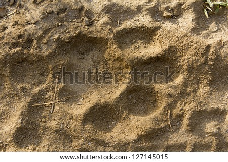 Tiger pugmark. India. #127145015