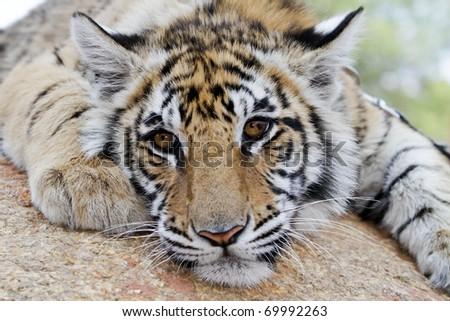 Tiger pup