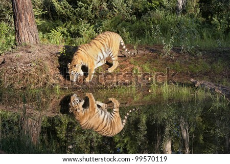 Tiger Reflection - stock photo