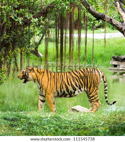 tiger relaxing in nature - stock photo