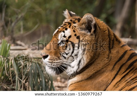 tiger resting in a zoo in italy #1360979267