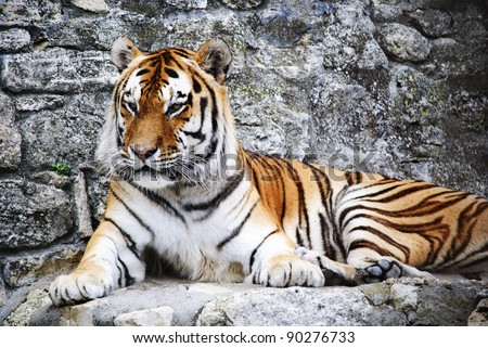 Tiger resting in front of his cave - stock photo
