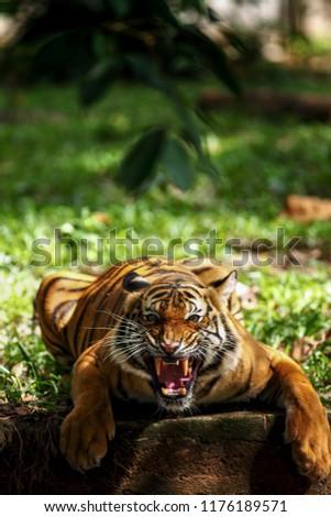 Tiger Roaring. Dangerous animal. Wild cat in nature habitat. #1176189571